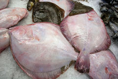 Fresh raw flatfishes Stock Image