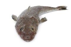 Fresh raw flathead fish Stock Photo
