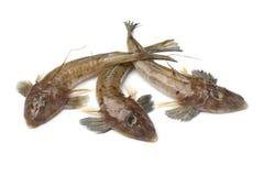 Fresh raw flathead fishes. Isolated on white background Royalty Free Stock Images