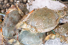Fresh raw flower crab or blue crab in sedfood market. Pic of Fresh raw flower crab or blue crab in sedfood market Stock Photos