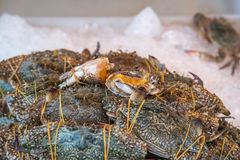 Fresh raw flower crab at seafood market. Fresh raw sea flower crab (portunus pelagicus) premium grade display for sale at seafood market Stock Photography