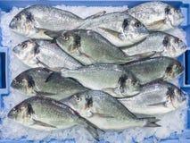 Fresh raw gilt-head bream Sparus aurata dorada fish at local m. Fresh raw gilt-head bream Sparus aurata dorada fish on ice in blue container for sale at local stock images