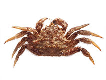 Fresh raw Gimsojung sea crab on white background. Deliciously Royalty Free Stock Photos