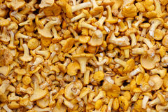Fresh raw girolles. Backgrounds and textures: a lot of fresh raw girolles, yellow forest mushrooms Royalty Free Stock Photos