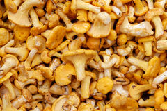 Fresh raw girolles. Backgrounds and textures: a lot of fresh raw girolles, yellow forest mushrooms Stock Photography