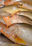 Fresh raw golden snapper Royalty Free Stock Photos