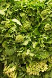 Fresh raw green leafy broccoli rabe rapini. Closeup view of Fresh raw green leafy broccoli rabe rapini Royalty Free Stock Photo