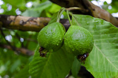 Fresh raw guavas on tree. A pair of Raw guavas on tree Stock Image