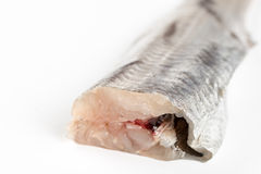 Fresh raw hake fish above white background with copy space.  Royalty Free Stock Images
