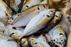 Fresh raw mackerel fish in market Thailand. Royalty Free Stock Photos
