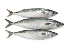 Fresh raw mackerel fishes Stock Image