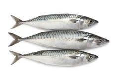 Fresh raw mackerel fishes. Fresh mackerel fishes on white background Stock Image
