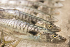 Fresh raw Mackerel fishes in the market. A portrait of Ffesh raw Mackerel fishes in the market Stock Images