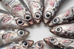 Fresh and raw mediterranean anchovy placed in circle. Close up Royalty Free Stock Photos