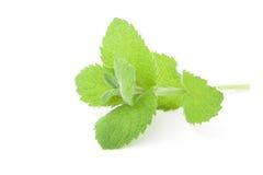 Fresh raw mint leaves Stock Photo
