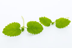 Fresh raw mint leaves isolated on white background. Fresh raw mint leaves isolated on white background Royalty Free Stock Photo