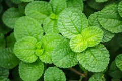 Fresh raw mint leaves in vegetable garden. Fresh raw mint leaves in vegetable garden for health food aromatherapy and agriculture concept design Stock Photo
