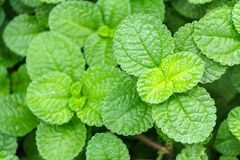 Fresh raw mint leaves in vegetable garden. Fresh raw mint leaves in vegetable garden for health, food, aromatherapy and agriculture concept design Stock Photography
