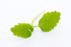 Fresh raw mint leaves  on white background. Fresh raw mint leaves  on white background Stock Photo