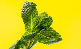 Fresh raw mint leaves. On yellow  background Stock Photos