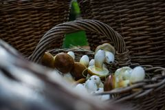 Fresh raw mushrooms from the garden in a wicker basket made from vines in the fresh air after harvesting fresh harvest in summer. Fresh raw mushrooms from the Royalty Free Stock Photography