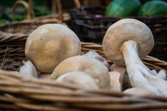 Fresh raw mushrooms from the garden in a wicker basket made from vines in the fresh air after harvesting fresh harvest in summer. Fresh raw mushrooms from the Stock Images