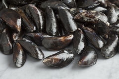 Fresh raw mussels. Fresh uncooked common mussels in the shell Stock Images