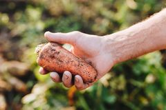 Fresh raw natural carrot in hand of farmer natural light. Fresh raw natural carrot in hand of farmer outdoor natural light Royalty Free Stock Photos