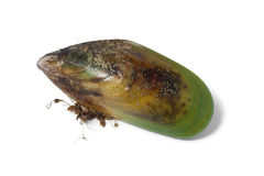 Fresh raw New Zealand green lipped mussel. Fresh raw Green lipped mussel from New Zealand Stock Photography