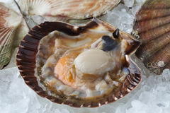 Fresh raw open scallop on ice. In the shell with clips close up Royalty Free Stock Photos