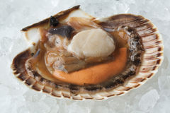 Fresh raw open scallop on ice. In the shell close up Royalty Free Stock Photography