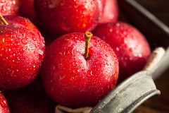 Fresh Raw Organic Cherry Plums. Ready to Eat Royalty Free Stock Photos