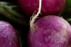 Fresh raw organic radish. Close up of raw organic radishes for a healthy diet or nutritional food concept Stock Photography