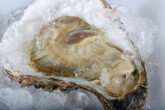 Fresh raw oyster Stock Images