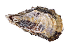 Fresh raw oyster Stock Image