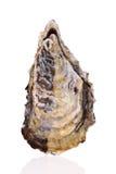 Fresh raw oyster Royalty Free Stock Photos