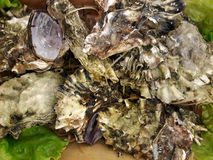 Fresh raw oysters on the counter. May be used as background Royalty Free Stock Image