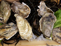 Fresh raw oysters on the counter. May be used as background Stock Image