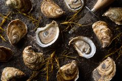 Fresh Raw Oysters. Delicious raw fresh oysters on a wet stone with seaweed Stock Image