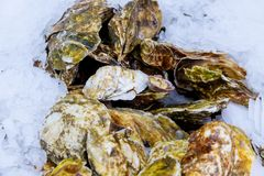 Fresh raw oysters at a fish market. Fresh mussels on fish farmer market ready for sale and use Royalty Free Stock Photos