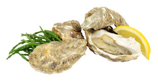 Fresh Raw Oysters. Group of fresh live oysters isolated on a white background Royalty Free Stock Photos