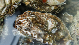 Fresh raw oysters. Seafood Stock Photos