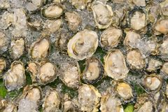 Fresh Raw oysters, Selective focus. Top view. Fresh Raw oysters, Selective focus Stock Image