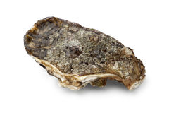 Fresh raw pacific oyster Royalty Free Stock Image