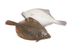 Fresh raw plaice fishes. On white background Stock Image