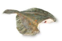 Fresh raw plaice. Fishes on white background Stock Images