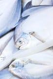 Fresh Raw Pomfret Fishes. Close Up Of Fresh Raw Pomfret Fishes Stock Image