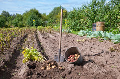 Raw potato at the field. Fresh and raw potato at the field Stock Image