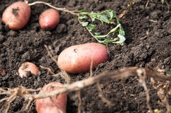 Fresh and raw potato on a field, freshly dug. Concept of healthy and bio food Stock Photos