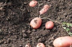 Fresh and raw potato on a field, freshly dug Stock Image